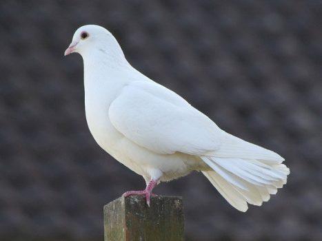 Mơ thấy chim bồ câu là điềm báo lành hay dữ? Đánh con gì chính xác?