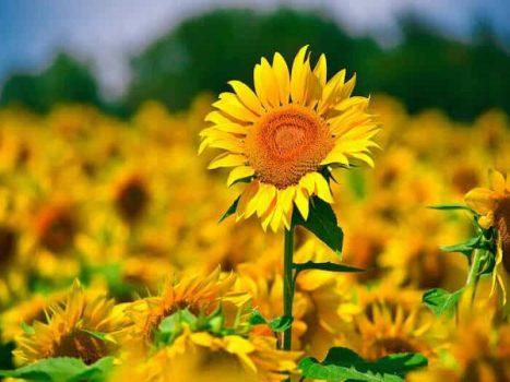 Mơ thấy hoa hướng dương là điềm báo lành hay dữ? Đánh con gì?
