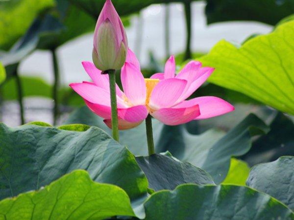 Mơ thấy hoa sen là điềm báo lành hay dữ? Đánh con gì may mắn?