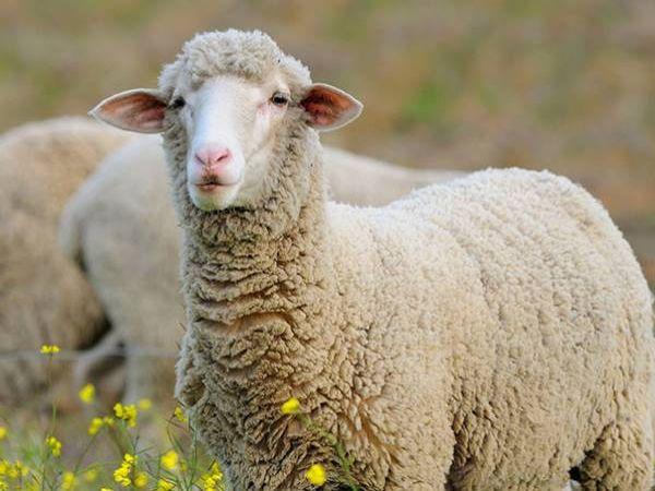 Luận giải ý nghĩa giấc mơ thấy con cừu là điềm báo lành hay dữ?